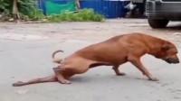 路上见这只流浪狗拖着后腿走,刚善心发作,不料画风突变!
