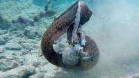章鱼捕食电鳗,遭到电鳗猛烈反击!双方打得难舍难分!