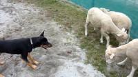主人让牧羊犬把羊赶回家,谁知遇上一只会反抗的羊,请忍住别笑!