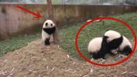 熊猫宝宝放弃爬树去拉架,结果好心没好报,被两只熊胖揍