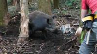 野猪整日在农田捣乱,村民只用小小弹簧,猪鼻子就给套上了!