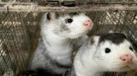 【早间辣报】疑带新冠!丹麦埋1700万水貂尸体重回地面