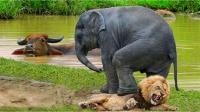 水牛被卡在水里,狮子以为唾手可得,不料下一秒意外发生