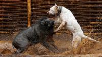 生性好斗的比特犬,竟然挑战起了野猪,结果被打得怀疑人生