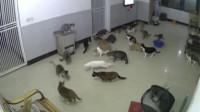 十几只猫正无所事事,突然一只老鼠钻进来了,镜头记录全过程
