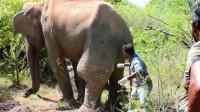 大象腿上肿起巨包,被人类救助后,下一秒的画面让人感动