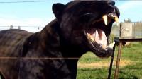 它比狮子老虎还厉害,咬合力最高可达4250KG,是地球上最凶猛的动物!