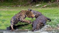 豹子偷袭鳄鱼,怎料意外突然发生,下一秒豹子悲剧了