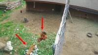 狐狸偷鸡被逮正着,农场主直接关门放狗!