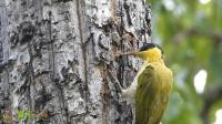 啄木鸟如何吃到树皮下的虫子?超近镜头告诉你答案