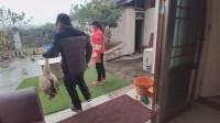 老汉去朋友家吃杀猪菜,吃完拿了只鹅回来,视频附带邻居做红薯粉