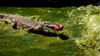 鳄鱼的天敌终于出现了!吃鳄鱼就像吃辣条一般,镜头拍下惊险过程