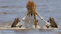 长颈鹿过河,却不知鳄鱼埋伏水下,长颈鹿:是时候展现真正的技术