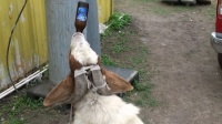 这年头连羊喝酒都能这么凶了吗?又开眼了