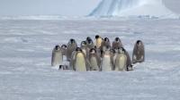 最豪横的阿德利企鹅,凭实力保护同类!