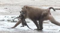 不明物体被野猴叼在嘴里,仔细看清后,让人气得发抖!