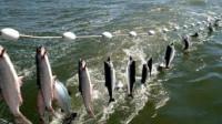目前世界上最先进的捕鱼技术,大鱼就像上流水线一样,场面太震撼