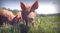 英国农场及时营销:吃自己亲手喂养的猪最放心