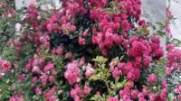 红蔷薇-我的藤月MV