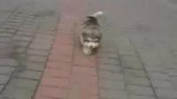 可爱小胖狗是哈士奇