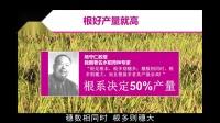 劲驼水稻高产技术