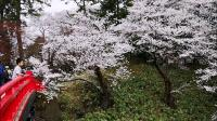 青森弘前の花见