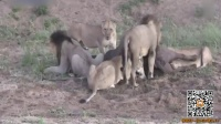 猪队友 群狮起内讧野牛趁机逃生