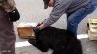 头戴咖啡罐 一只熊闯进了高速公路