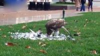 真实版鸟吃鸟 大学惊现饿鹰草地开餐吃鸽子 161129