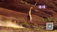 实拍非洲母狮霸气扑杀长颈鹿 结果被一脚踢飞 161129