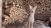 小鹿乱闯伤痕累累动物园拒收 妇人获准收养 161129