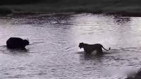 罕见 孤单水牛竟逃过狮子团体攻击 161129