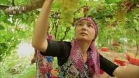 时节:最甜吐鲁番葡萄的秘密 高清