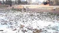 """【拍客】实拍北方冬天最独特的风景 雪地上的""""草坚强"""""""