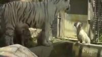 调皮小白虎掉进水池 随后同伴做出超暖心举动