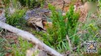 非洲岩蟒成功吞食一只黑斑羚 整个过程让人惊叹不已
