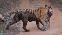 實拍母老虎叢林中捕食豹子驚險場面 160617