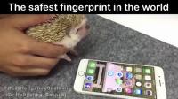 新发现 刺猬掌纹竟可解锁苹果手机 161126