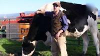 美国惊现世界最大奶牛高1.9米 每天排泄136斤 161126