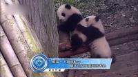 熊猫一个超萌Move 瞬间让网友爱到冻未条 161127