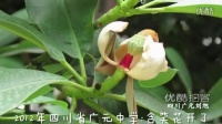 [拍客]2012年四川省广元中学:含笑花开了