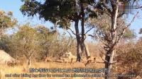 0926 猎豹自树上一跃而下 伏击黑斑羚