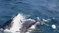0928 鲨鲨对决 大白鲨袭击同类
