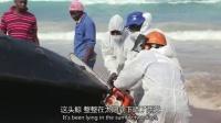 1018 海边巨鲸尸体被当地居民撕开