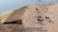 1015 鳄鱼单枪匹马 从野狗群口中抢走黑斑羚