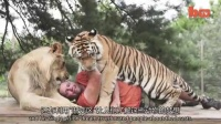 1022 大型猫科动物爱好者圈养六只老虎两只狮子