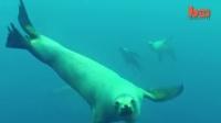 1023 被摄像机拍到 好奇的海狮冲向摄像机