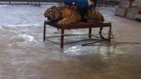 [拍客]温岭老虎打成猫