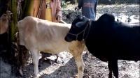 主人给自己家的牛寻找伴侣, 母牛太小不同意用脚踢公牛