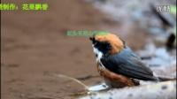 鸟类视频《黄眉柳莺洗澡》野生鸟视频
